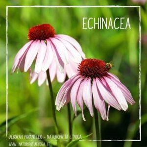 infusi-echinacea